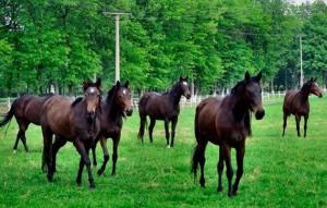 konji 1